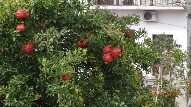 Pomegranates growing in gardens near Fanari