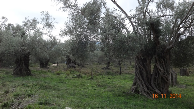 Ancient olive trees. They can live for 100s of years!