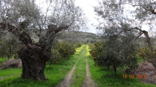 following the tracks through the orange groves