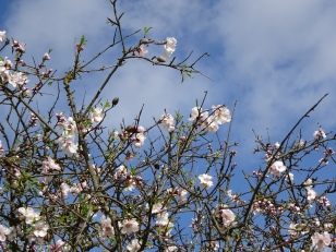 The almond blossom is just beginning