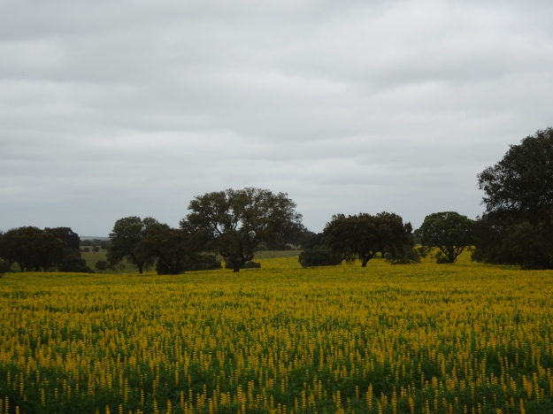 fields of yellow Lupins