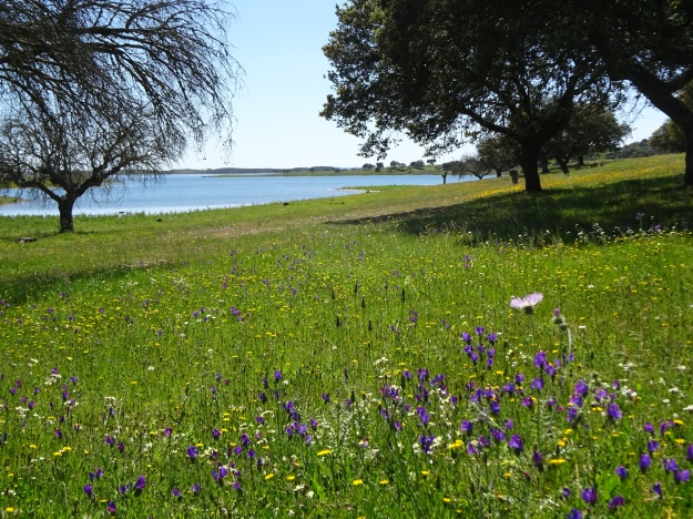 Wildflowers putting on a show. Out walking near Mourao on the edge of the Alquevar Reservoir.