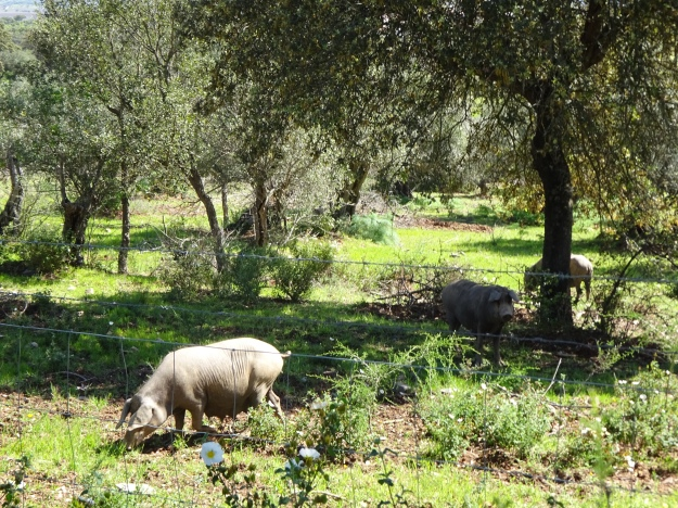 Happy Pigs - better than a muddy field!