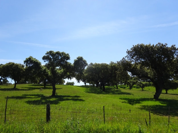 the rolling hills of Alentejo dotted with Cork Oaks and often grazed by cattle